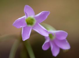 The Blooming Oxalis by mtsofan