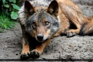 Iberian Wolf 18 by Canisography