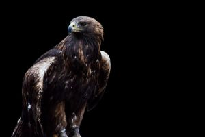 golden eagle 2 by PhotographyChris
