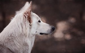 White wolf by Wolfskuss