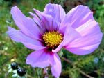 Very Late Cosmos. by JocelyneR