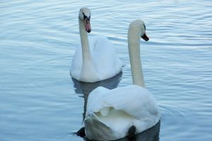 swans by bipolargenius