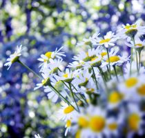 camomiles bokeh by Iridescent-happinesS