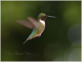 Hummingbird II by CapturedCosmicDebris
