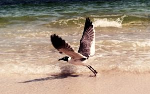 Seagull at Flight by psimpson1