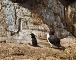 Guillemot and young chick by svendo