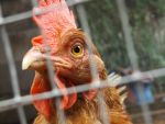 ..Rooster. by Tenebrion95