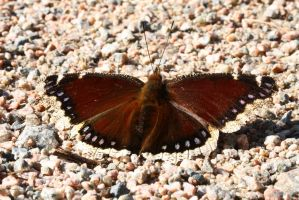 Morning Cloak butterfly 2010 by natureguy
