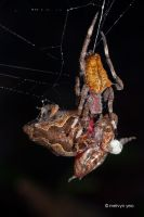 Garden Spider eating a Painted Chorus Frog by melvynyeo
