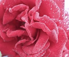Roses are pink. by estrar