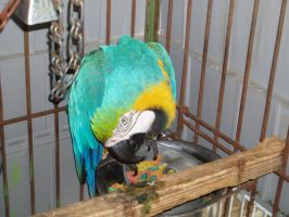 Macaw 03 by dlc-nature-stock
