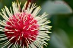 Australia's Flowers by Monze1