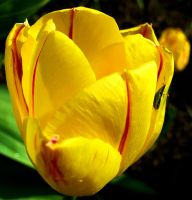 Yellow Tulip With Green Bug by PamplemousseCeil