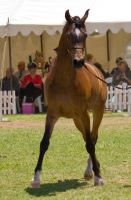 STOCK - TotR Arabians 2013-469 by fillyrox