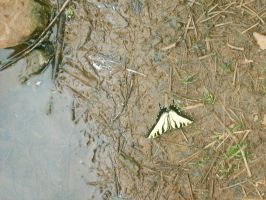 Dead Butterfly 02 by fairchild-stock