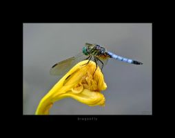 DragonFly by scorpiodesign