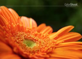Gerbera by ColorShoot