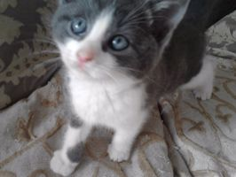 Harvey as a kitten by animal-lover-247