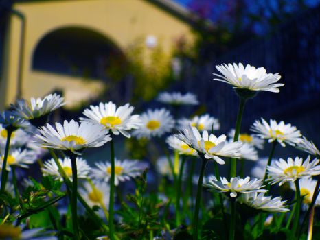 Daisies 2 by cortomaltese219