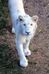 White lion by arinqa