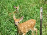 Orphaned Fawns 6 by Windthin