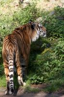 Tiger 02 Stock by lokinststock
