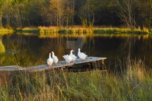 Autumn Geese by Lubov2001