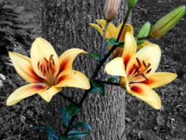 Asiatic Lilies by SpasiantasticalMan