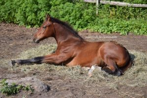 Bay quarter horse lay down with legs out by equustock
