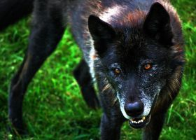 Black Wolf by CindarellaPop