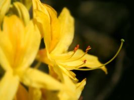 Yellow Azalea by nectar666