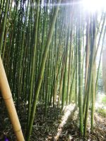 bamboo forest stock by EvilHateYouAllStock