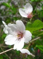 Flower - Cherry blossom 1 by MapleRose-stock