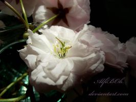 Light Pink... by AlfiBOh