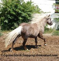 Shetland-Welsh X 6 by EquineStockImagery