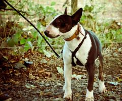 Nadal The English Bull Terrier III by scribbleXcore