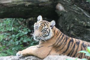 Phuket the Tiger Cub by Skarkdahn