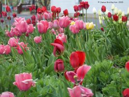 Tulip Garden by jim88bro