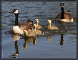 Canada Geese 40D0004654 by Cristian-M