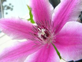 Pink Flower.... duh by thanatopsis-mortis
