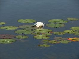 Lily Pad Stock 3 by Moonchilde-Stock