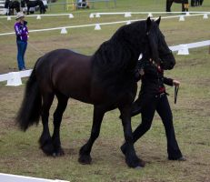 STOCK - Friesian Show 2012-28 by fillyrox