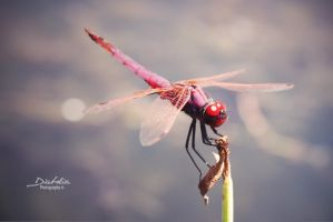Dragonfly by diabolic-photography