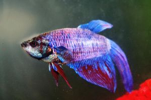 Betta Stock by asphyxiate-Stock
