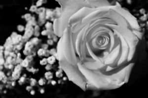 Rose and Baby's Breath by S-H-Photography