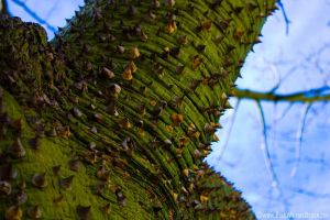 Silk Floss Tree in Glendale CA by Procedure1