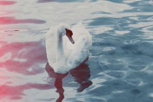A beautiful swan in the spaces shores of Lucerne. by ArishkaRotanova