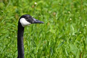 Goose in the Grass- 1 by wagn18