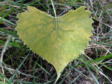 Heart Shaped Cottonwood Leaf 3 by Cynnamyn
