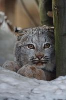 Canadian lynx cub by Tygrik